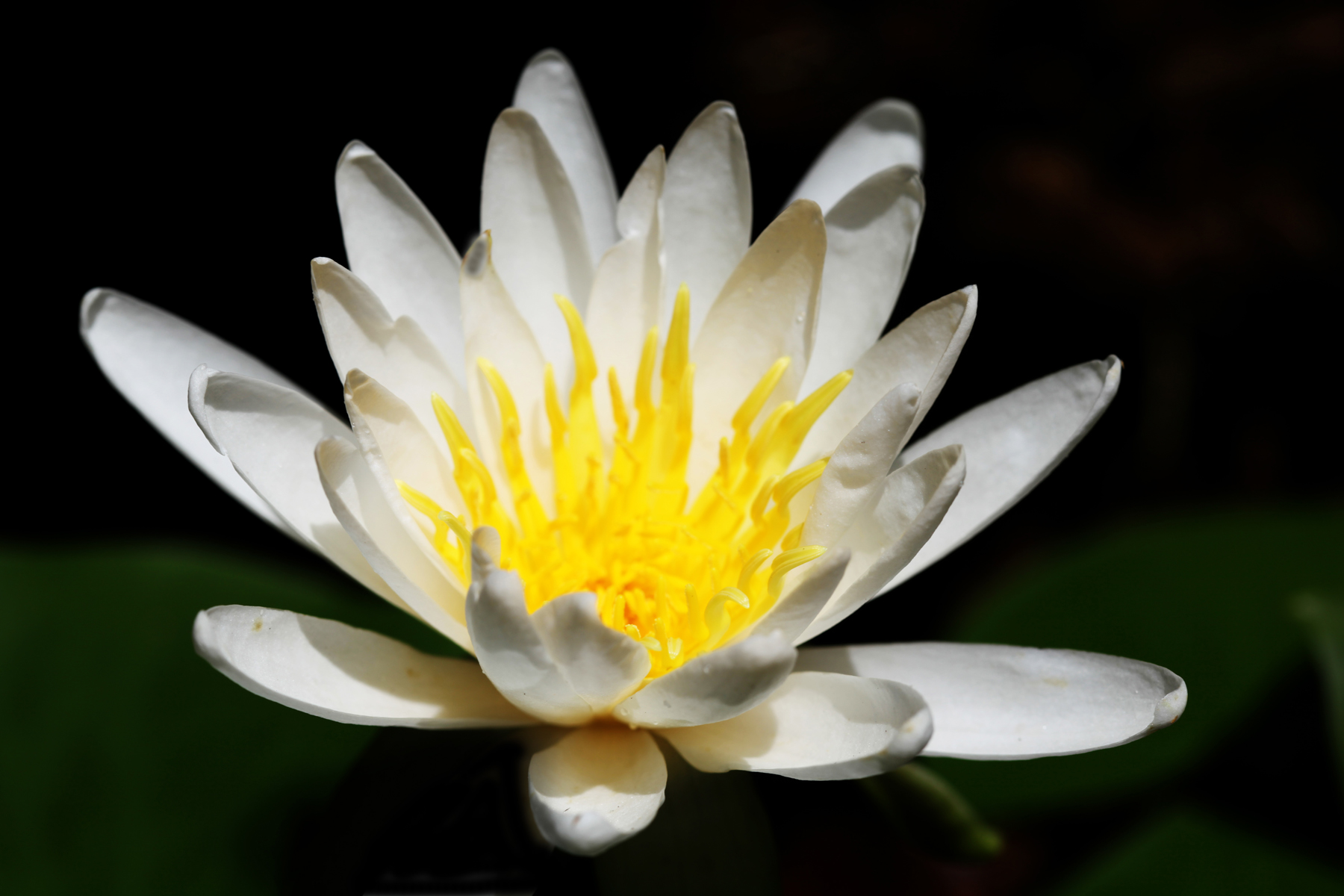 stunning shot of a flourishing water lilly